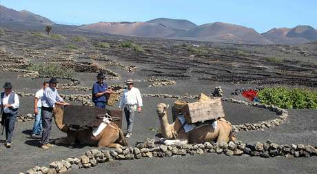 Camels in Lanzarote, How and Why? - Lanzarote ON